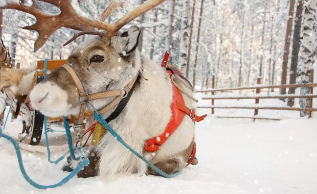A Scandinavian reindeer waits in the late afternoon on a snowy day for someone to hop in his sleigh.