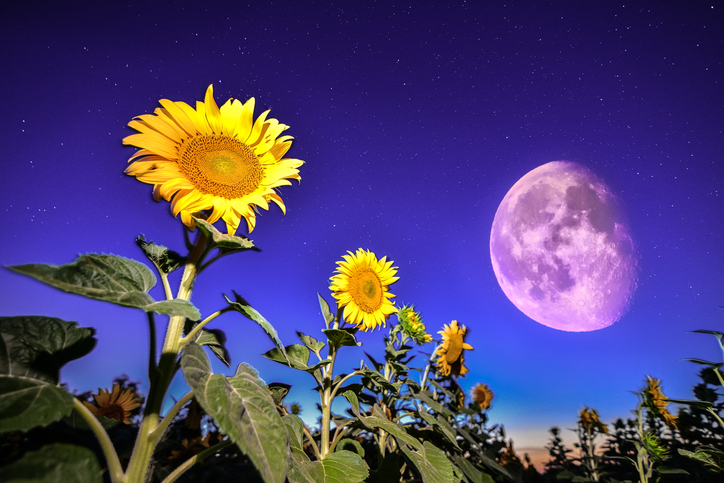 Sunflowers on night - with stars sky and moon