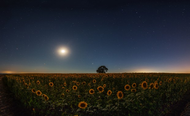 Stars and the moon on a field of sunflowers, night shots